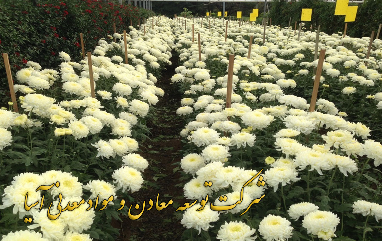 پرلیت ویژه بستر کشت گل های شاخه بریده داوودی گل رز شاخه بریده هلندی خاک پرلیت