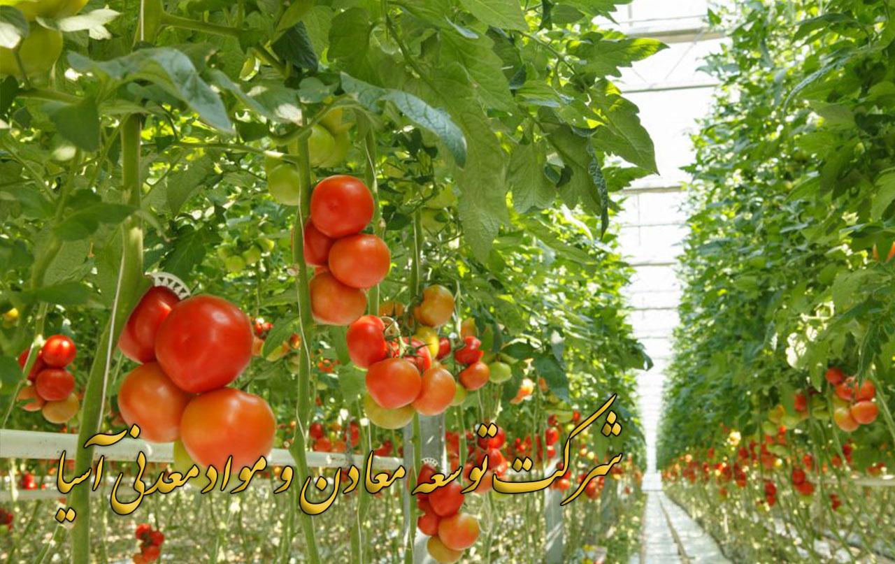بستر کشت هیدروپونیک گوجه فرنگی نشا گوجه فرنگی پرلیت و کوکوپیت خاک دانه بندی