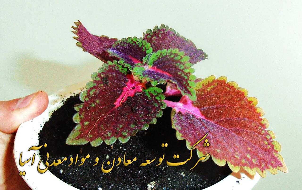 خاک پیت ماس پرورش گل حسن یوسف قلمه حسن یوسف فروش پیت ماس