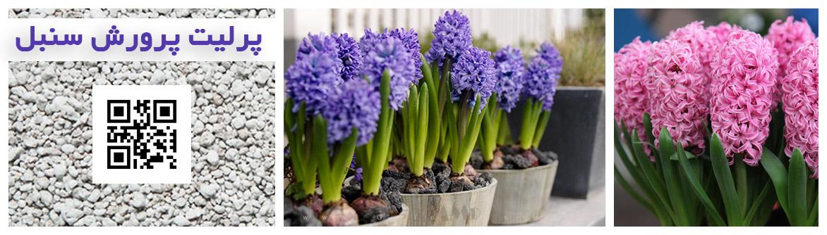 سنبل کاشت پیاز سنبل خاک سنبل نگهداری از گل سنبل هفت سین نوروز