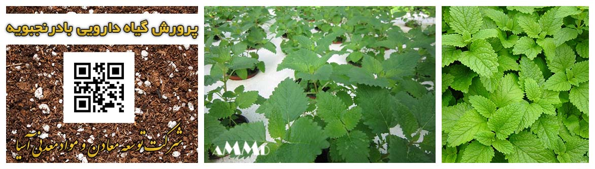 پرلیت و پیت ماس پرورش گیاه دارویی بادرنجوبویه کشت هیدروپونیک خاک پیت ماس و پرلیت نشا گیاه دارویی قلمه بذر گیاهان دارویی نعنا ریحان و سبزیجات