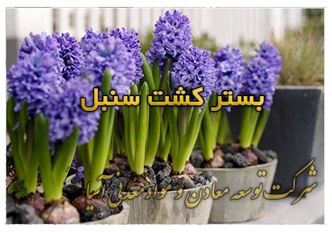 بستر کشت پرورش سنبل پیاز سنبل کاشت خاک مناسب سنبل گل و گیاه عید