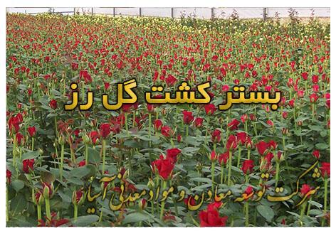 بستر کشت گل رز خاک پرورش گل شاخه بریده رز هلندی و ایرانی بستر کشت و گلخانه خاک هیدروپونیک گروبگ انواع گل رز
