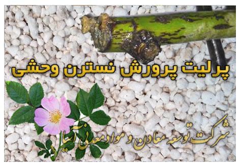 پرلیت پرورش نسترن وحشی قلمه گل و گیاه خاک ماسه پرلیت قلمه گل و گیاه آپارتمانی
