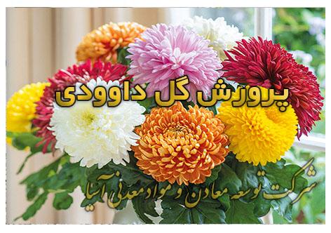 پرورش گل داوودی گل شاخه بریده داوودی انواع گل داوودی خاک مناسب سبک پرلیت کوکوپیت