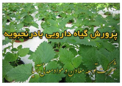پرورش گیاهان دارویی بادرنجبویه کشت هیدروپونیک پرورش گیاه دارویی پرلیت و پیت ماس هیدروپونیک خاک