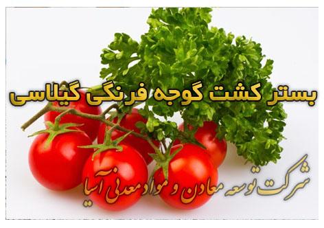 بستر کشت گوجه فرنگی گیلاسی پرورش گوجه فرنگی گلخانه ای خاک پرلیت و آبیاری هیدروپونیک